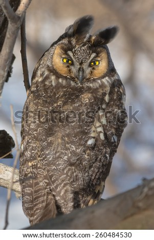 Long-eared Owl perched on a low branch. - stock photo