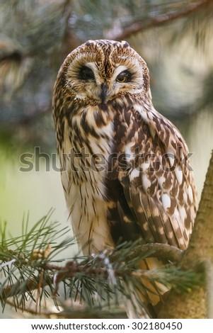 Long-eared Owl portrait in the tree - stock photo