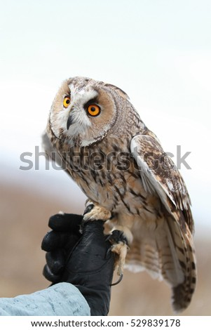 Long-eared owl rendered in the field to fly and to hunt in . Tamed animal. Asio otus
