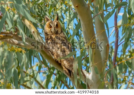 Long-eared Owl sitting on the branch - stock photo
