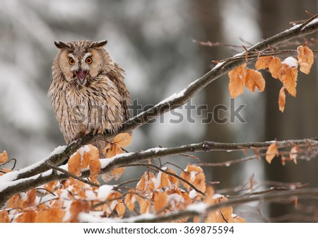 Long-eared owl sitting on the branch with yellow leaves, Czech republic - stock photo