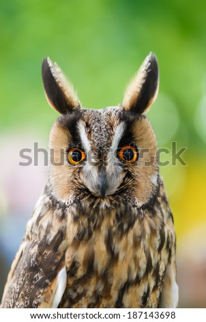Long-eared owl with erect blackish ear-tufts, portrait - stock photo