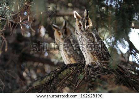 long eared owls - stock photo