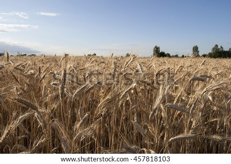 Long ears of barley