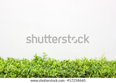 Long Green Bush or Hedgerow in front of White Concrete Wall, Isolated Nature Background with Copy Space - stock photo