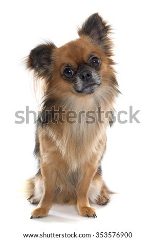 long hair chihuahua in front of white background