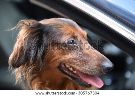 Long hair dachshund in car with face out the window in the breeze
