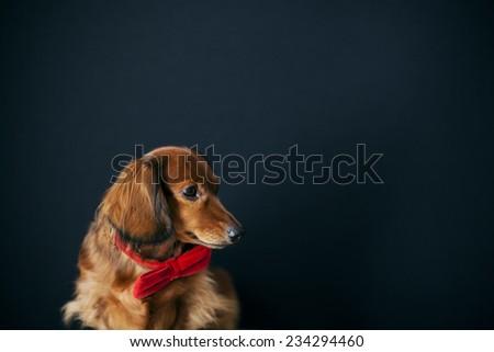 long hair dachshund on a black background - stock photo