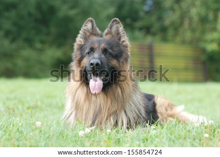 Long hair german shepherd dog - stock photo