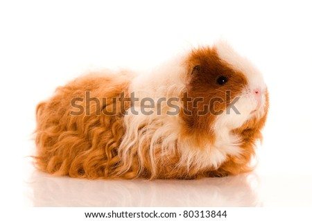 long hair guinea pig isolated on the white background - stock photo