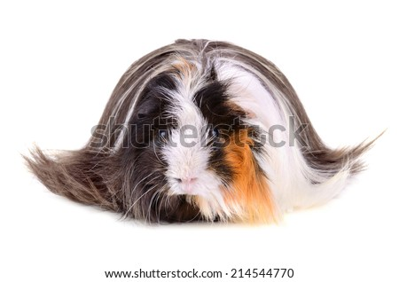 Long hair guinea pig on a white background - stock photo