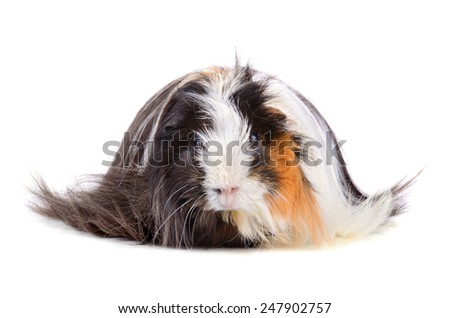 Long hair guinea pig sitting on a white background