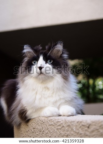 Long Haired Bi-Color Brown White Blue Eyed Ragdoll Cat with a black button nose and Long Whiskers Sitting on Ledge - stock photo