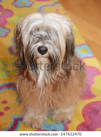 tibetan terrier and kitten in tibetan terrier in front of