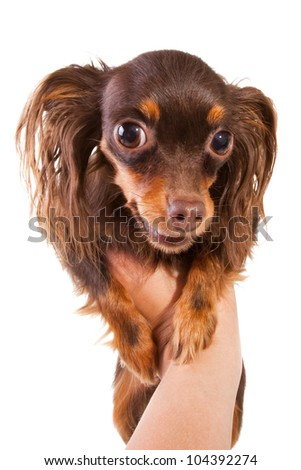 long-haired brown toy terrier breed puppy on isolated white background