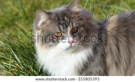 Long haired cat looking backwards