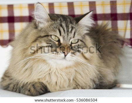 long haired cat of siberian breed, brown tabby