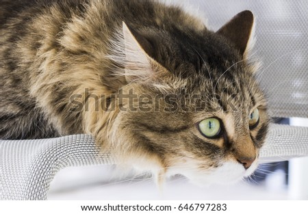 Long haired cats, siberian breed brown tabby