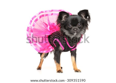 Long-Haired Chihuahua dog in fashionable dog dress on white background - stock photo
