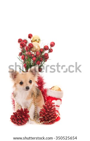 Long haired Chihuahua dog with Christmas decorations, isolated on white