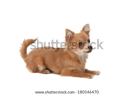 Long haired chihuahua puppy dog in front of a white background - stock photo