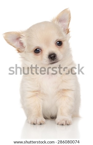 Long haired Chihuahua puppy in front of white background - stock photo