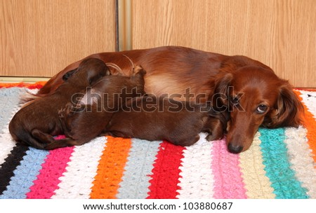 Long-haired dachshund feeding puppies