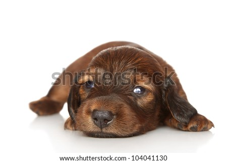 Long-haired dachshund puppy (two weeks) lies on white background
