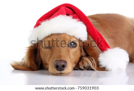 Long haired dachshund puppy wearing a Christmas Santa hat. Studio isolated on white. Puppy is winking, one eye open, one eye closed.