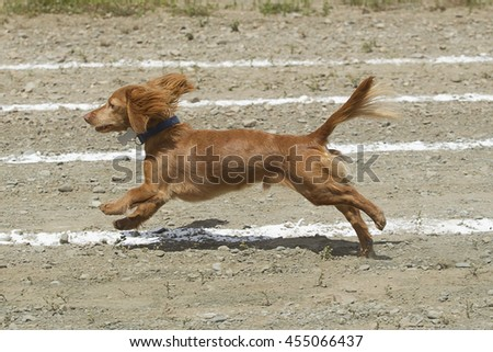 Long haired Dachsund in the Rathdrum Days wiener dog race.