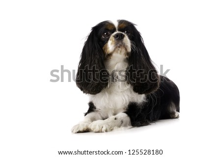 Long Haired King Charles Spaniel Dog Laid Isolated on a White Background Looking Up