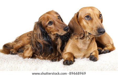 long haired miniature dachshund and standard  dachshund