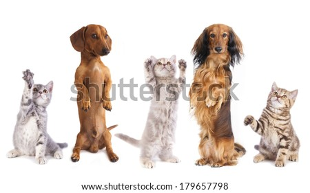 long haired miniature dachshund and standard dachshund and shepherd - stock photo
