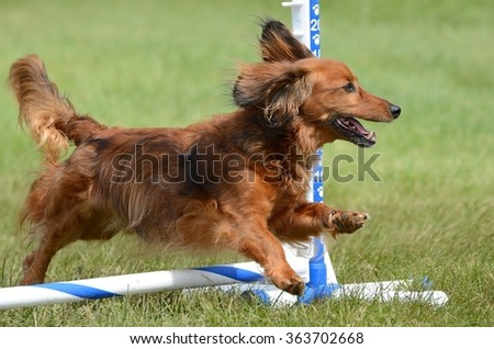 Long Haired Miniature Dachshund Jumping at a Dog Agility Trial - stock photo