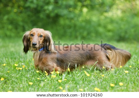 Long-haired Miniature Dachshund, looking at camera