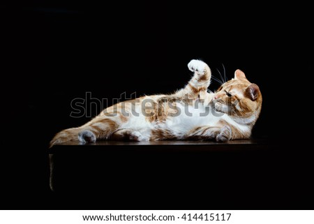 Long-Haired Orange Cat Lying Down on Isolated black background