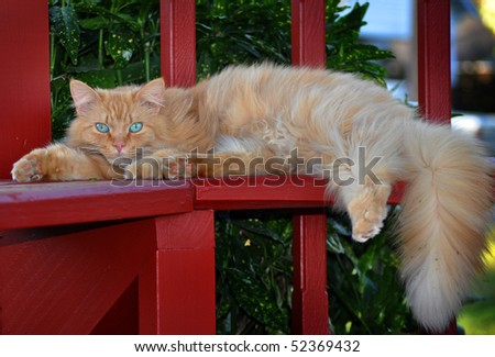 Long-Haired Orange Tabby Cat with special eyes