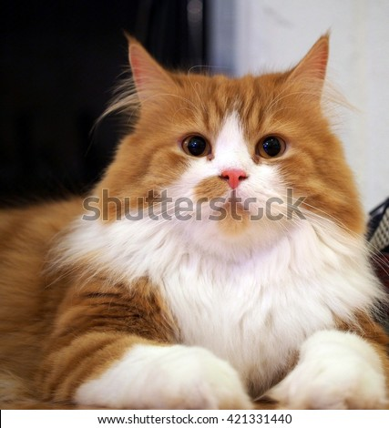 Long Haired Orange White Bi Color Traditional Doll Face Persian Cat Laying Down  - stock photo