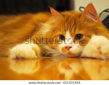 Long Haired Orange White Bi Color Traditional Doll Face Persian Cat Laying Down with Fat Paws - stock photo