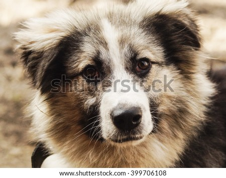 long-haired shaggy dog of gray and black colors
