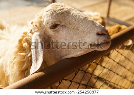 long-haired sheep standing in a pen waiting for feeding