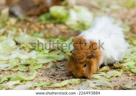 long haired white and brown guinea pig eating salad from ground - stock photo