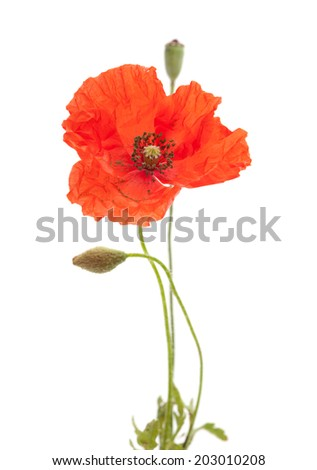 Long-headed Poppy isolated on white background