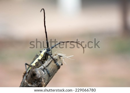 Long horn beetle - stock photo