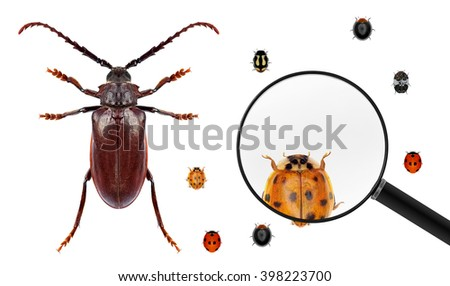 Long horn beetle and various ladybugs (ladybird beetles). Ladybug view through a magnifying glass. Isolated on a white background. Small versus big size (parameter) of insects concept - stock photo