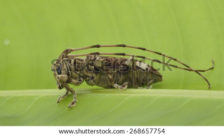 Long horn beetle, side view - stock photo