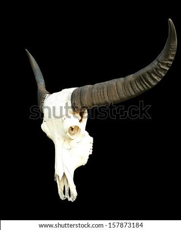 long horn buffalo skull isolated on black - stock photo
