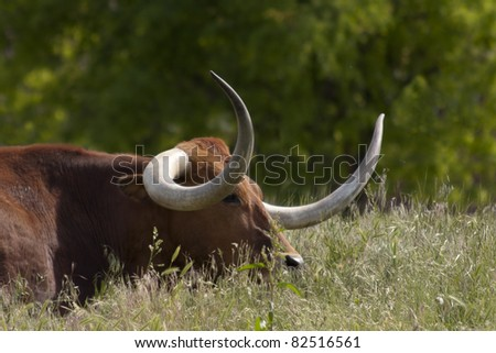 long horn cow in a green field - stock photo