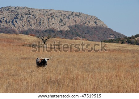 long horn steer at wichita mountains - stock photo
