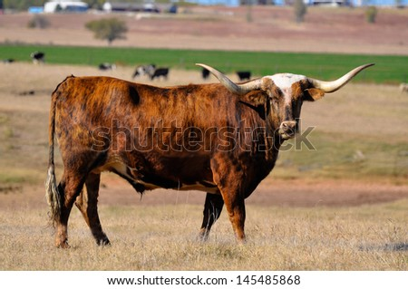 Long horn steer stare down - stock photo
